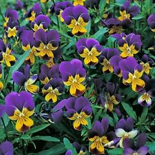 PANSY Viola Heartsease Wild Pansy Seeds (F 415)