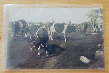 Vintage Postcard Grazing Cows