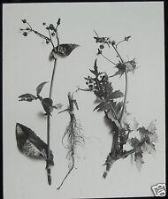 Glass Magic Lantern Slide PLANT STUDY - SAW THISTLE C1900 PHOTO NATURE