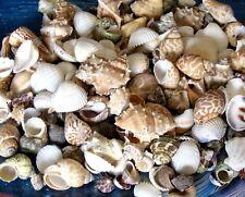 "1/2 Pound Medium Indian Ocean Sea Shell Mix 1"" to 1-1/4"" Craft Nautical"