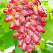 50Pcs Rare Red Grape Fresh Seeds Bright Sweet Perennial Fruit Summer Home Garden