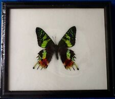BIG MADAGASCAR SUNSET MOTH BUTTERFLY CHRYSIRIDIA TAXIDERMY INSECT ENTOMOLOGY