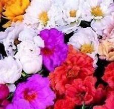 50+ MOSS ROSE  MIX / PORTULACA  MARGARITA / ANNUAL FLOWER SEEDS / GROUND COVER