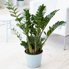Zamioculca Zamiifolia Indoor Plant - Decorative House Tree 1 x 13cm Potted Plant