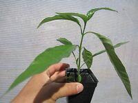 """14"""" Vietnam Herb Plant Hoan Ngoc Xuan Hoa Pseuderanthemum palatiferum"""