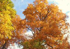 3 TREES MOCKERNUT HICKORY NUT FRUIT TREE WHITE WHITEHEART HOGNUT BULLNUT PLANTS