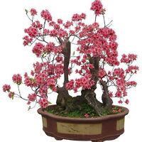 10pcs Schöne rote Prunus Blume Pflanze Baum Samen Garten Bonsai Samen de vv W9O4
