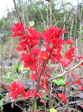 Chaenomeles japonica 'Winter Cheer' (Flowering Quince) x 1 small plant.