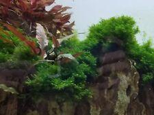 "Fissidens Fontanus - 10 x 10cm 3"" x 3"" - Stainless Mesh - Live Aquarium Moss"