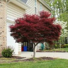 Bonsai Japanese Red Maple Tree Plant Garden Size 2-3 ft Best Gift Outdoor New