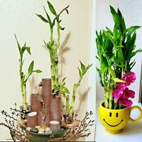 "6 Lucky Bamboo Stalks Rooted Plants - 4"", 6"", 8""  Feng Shui, GIFT, Free Shipping"