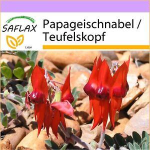 SAFLAX - Papageischnabel / Teufelskopf - 20 Samen - Clianthus formosus syn. Swai