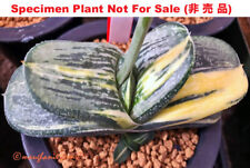 Succulent -  Gasteria 'Fire and Ice' variegate 20 seeds, fresh 2019 seeds