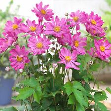 More details for anemone prinz heinrich windflower upright perennial outdoor pink flowering shrub