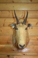 Vintage shoulder Mount Alaskan Mountain Goat Skull Real Horn Sheep Taxidermy