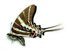 Beautiful Butterfly single Graphium rhesus. Buton