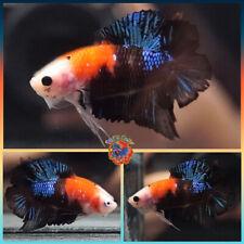 New listing Live Betta Fish Male Face-Off Metallic Blue Red Tuxedo Koi Double Tail Plakat