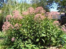 50 Joe Pye Weed Seeds Eupatorium purpureum
