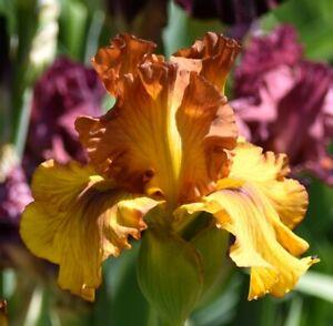 Tall  Bearded Iris  ''Spice Trader'