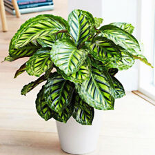 100pcs calathea Flower Pot Bonsai Seeds Indoor Plant Balcony Room Easy to Grow
