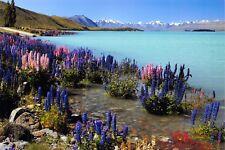 New Postcard, Russell Lupins at Lake Tekapo, New Zealand #172