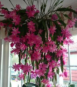 """3 Stecklinge Epiphyllum Blattkaktus """" Die Deutsche Kaiserin"""" Versandfrei"""