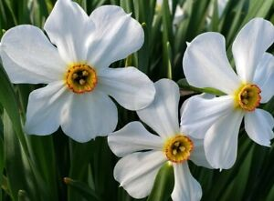 White Narcissus flowers perennial houseplant rare plants home garden 100 seeds
