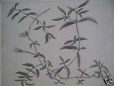 ENGLISH SCHOOL ALTERNANTHERA SESSILIS W/COL PLANT 1830