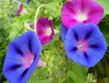☺30 graines d ipomée en mélange  ( bleu blanc et rose) morning glory