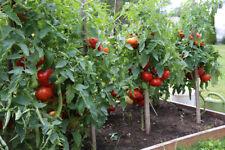 55 BEEFSTEAK TOMATO Seeds