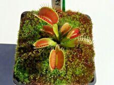 Venus Fly Trap King Henry Cultivar Dionaea Muscipula House / Garden Plants