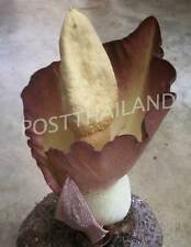Bulb AMORPHOPHALLUS KORATENSIS Voodoo lily Plant FREE Phytosanitiary Certificate
