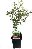 "Fuchsia Lottie Hobby Live Plant Indoors Outdoor Fairy Garden Shade 2.5"" Pot"