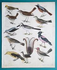 SINGING BIRDS Wren Lyrebird Oriole Wagtail Antbird - 1843 HC Color Print