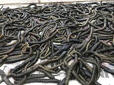 Frozen Black Lugworm X 100 Sea Fishing Bait (5 Score) Contact No. Req.