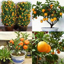 Edible 30pcs Mandarin Citrus Bonsai Seeds Fruit Tree Orange