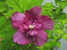 Rose of Sharon - Dusty Rose - Althea - Established Shrub 1 Plant in Gallon Pot