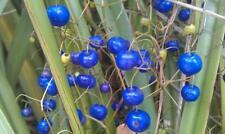 5 graines de PLANTE AUX TURQUOISES(Dianella Caerulea)H145 BLUEBERRY LILY  SEEDS