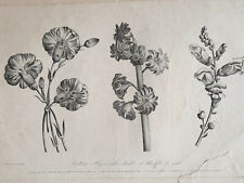 OEILLETS HYACINTHE Gravure JEAN LOUIS PREVOST Ruotte BOTANIQUE Basset 1805