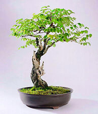 Langosta Negro - 40 semillas-Robinia pseudoacacia-Tree-Bonsai-SOW todo el año
