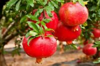 "Big!! Pomegranate ""Big Red"" Tree Live Plant 2+ft potted  see real pictures!"