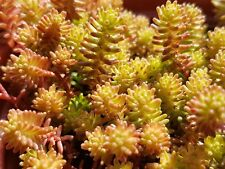 Sedum Sexangulare -9cm- Hardy Groundcover Stonecrop- PAY P&P ONCE ON ALL PLANTS