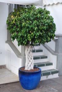 Aus der großen Birkenfeige kann auch ein kleiner Bonsai werden - Zimmerpflanze.
