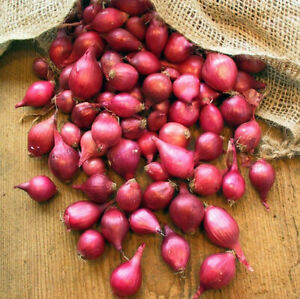 Karmen Red Onion Set (Bulbs) | Long Day Sets Green Scallion Vegetable Seed 2021