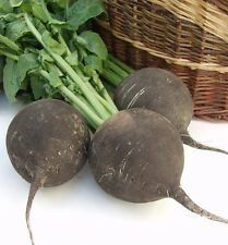 Vegetable Radish Black Spanish Round Appx 500 seeds