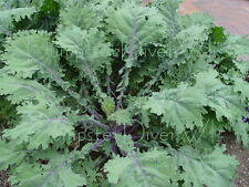 Red Russian Kale 150+ Organic Heirloom vitamin packed Delicious tender mild