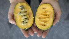 ASIMINA TRILOBA PAW PAW fruit tree HARDY -30C, 3 SEEDS, VERY TASTY + GIFT SEEDS