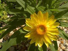 Golden Yellow Strawflower/Paper Daisy Seeds Native Perennial Cut/Dried Flower