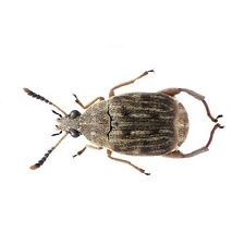 BEAN WEEVILS IDEAL FOR SMALL LIZARDS, AMPHIBIANS & INVERTEBRATES eg SPIDERS
