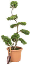 Japanese Cloud Tree Large Bonsai Pruning Plant Outdoor Green Niwaki 1.4m 15L Pot